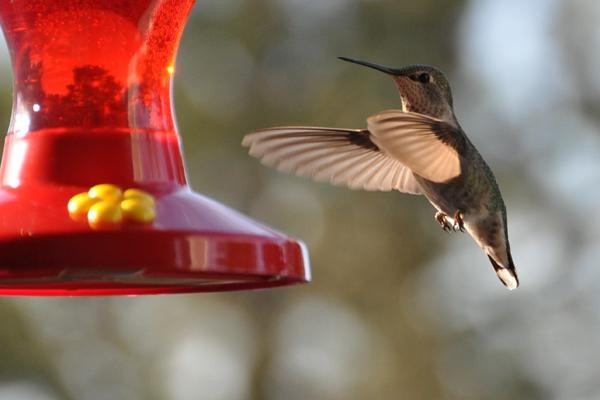hmmingbird