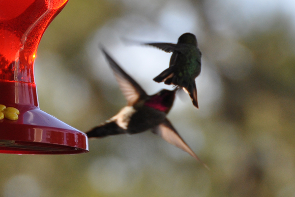 hummingbird_3