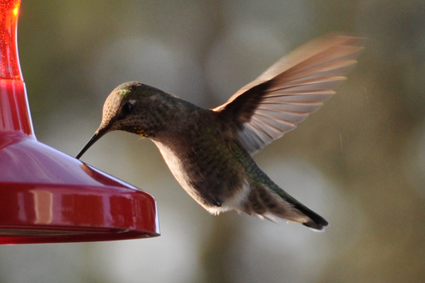 hummingbird_4