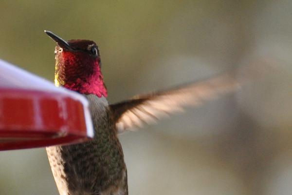 hummingbird_6