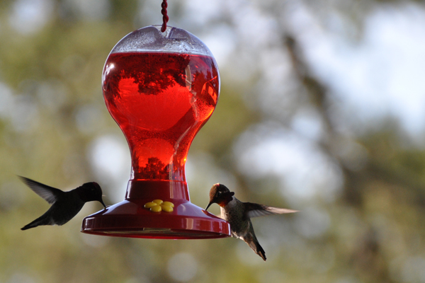 hummingbird_8