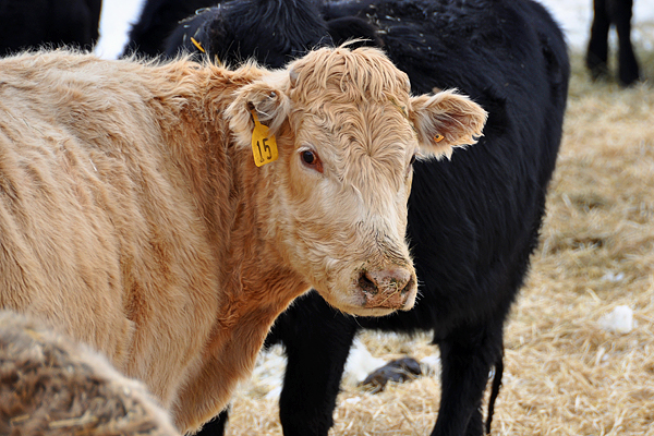 blond-cow