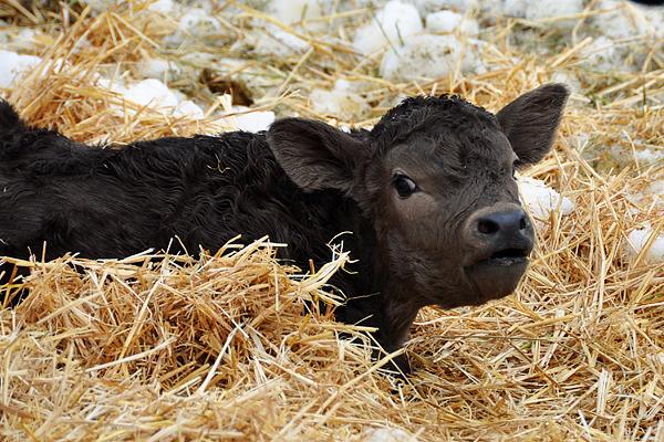 calf-mooing