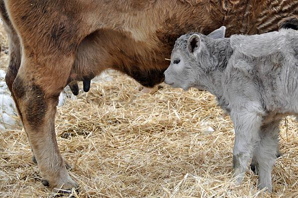 cow-calf-maternal