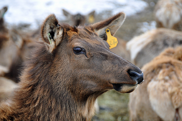 elk-beautiful1