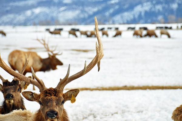 elk-close1