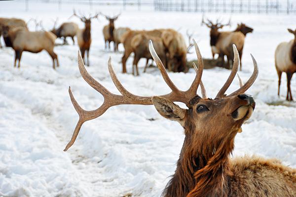 elk-sniffing1