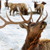 Post image for Teton Mountain Ranch: The Elk