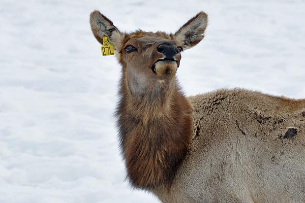 elk-young1