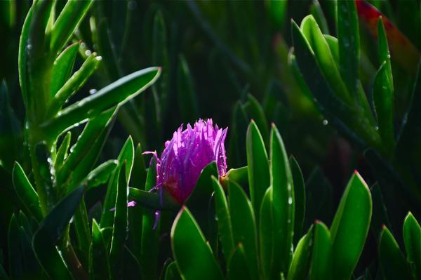ice-plant1