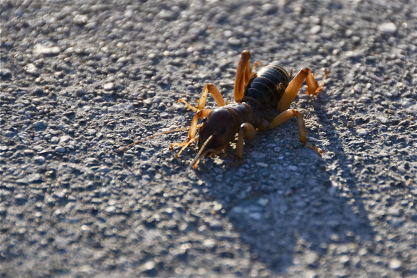 potato-bug3