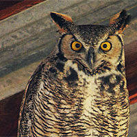 Post image for The Great Horned Owl Next Door