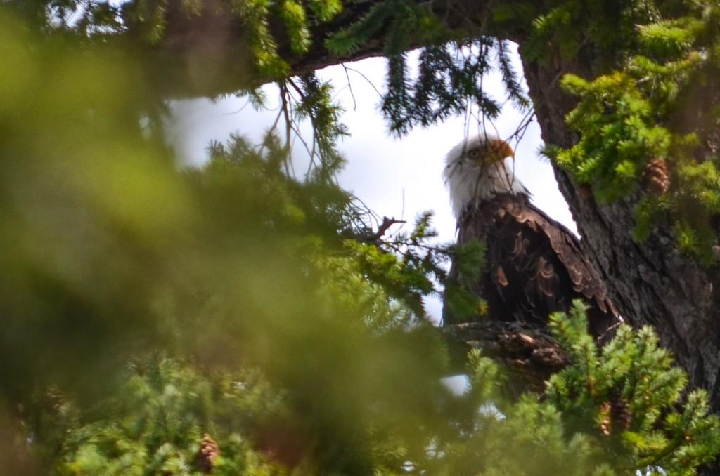 Fanny Bay Eagle-1